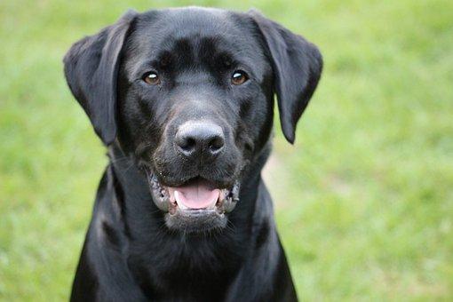 Labrador, Blacklab, Blackdog, Dog, Adorable
