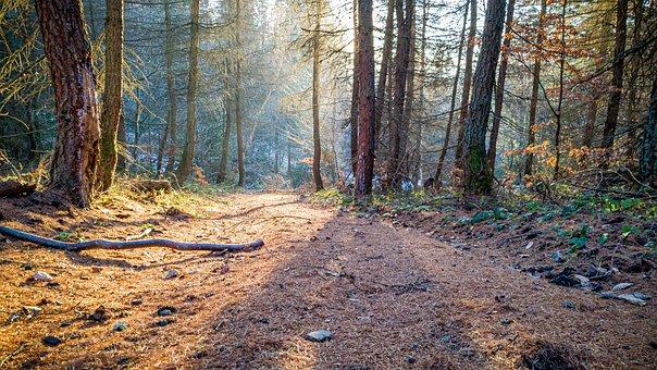 Forest, Trees, Nature, Landscape, Deer, Sun, Morning