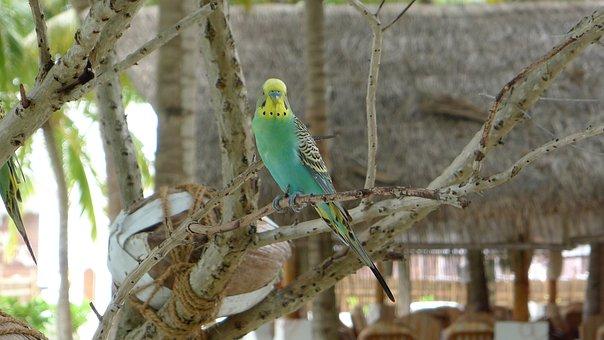 Parrot, Budgerigar, Bird, Budgie, Parakeet