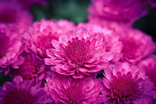 Chrysanthemums, Flowers, Bloom, Blossom, Pink Petals