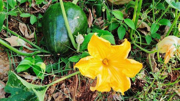Pumpkin, Cucurbita, Green Vegetable