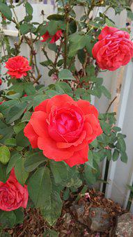 Roses, Flowers, Rosebush, Red Rose, Rose, Petals