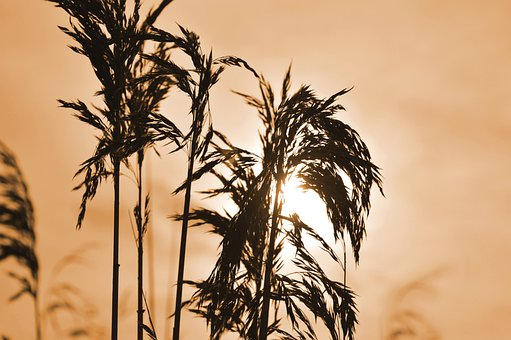 Reed, Grasses, Sunlight, Silhouette, Mood, Peaceful