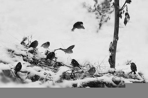 Sparrows, Birds, Snow, Winter, Snowy, Wintry, Hoarfrost