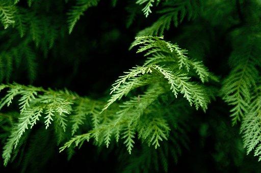 Cedar, Tree, Western Red Cedar, Forest, Cypress
