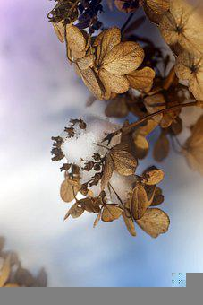 Hydrangea, Withered, Snow, Frost, Hoarfrost, Ice