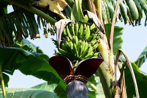 Banana, Tree, Bunch, Fruits, Banana Tree