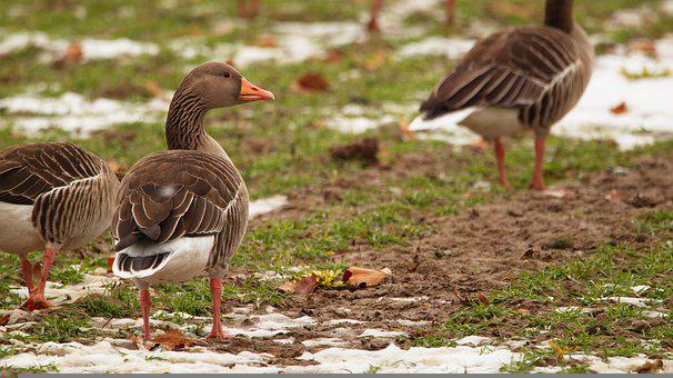 Goose, Greylag Goose, Bird, Water Bird, Poultry