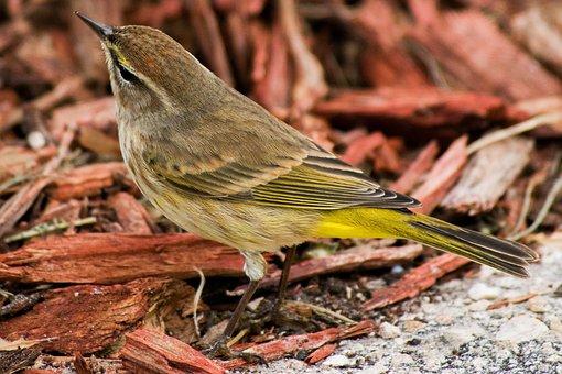 Warbler, Bird, Animal, Wildlife, Feathers, Plumage