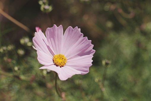 Flower, Petals, Nature, Plant, Blossom, Bloom, Pink