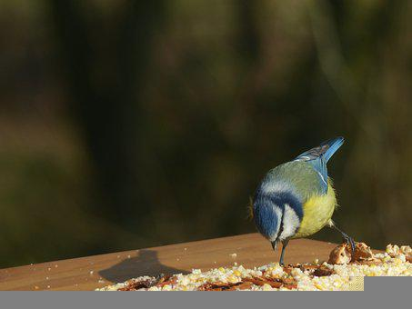 Blue Tit, Bird, Nature, Animal, Tit, Garden, Plumage