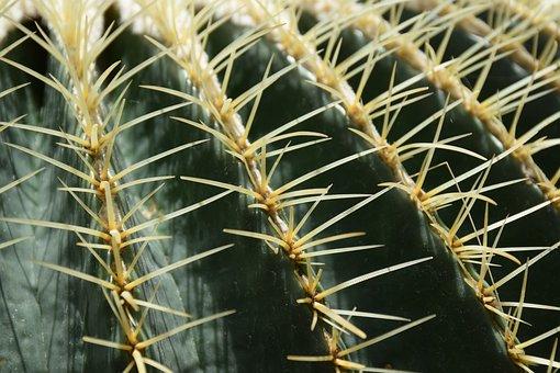 Cactus, Golden Barrel Cactus, Needles, Cactus Needles