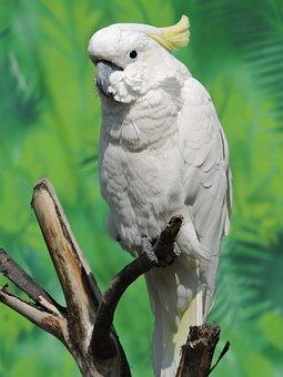 Bird, Cockatoo, Australia, Wildlife, Nature, Cockatoos