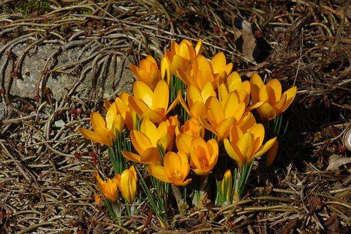 Crocus, Spring Flower, Early Bloomer, Yellow, Flower