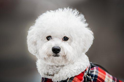 Bichon, Dog, Winter, Animal, Snow, White, Cute, Maltese