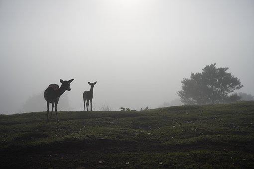 Misty Morning, Deer Mist, Deer Fog, Foggy, Deer, Fog