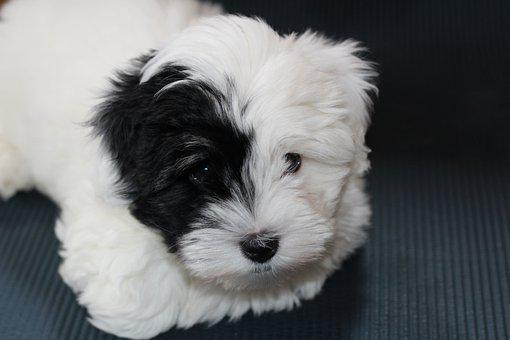 Dog, Puppy, White Dog, Small Dog, Coton, Tulle Coton