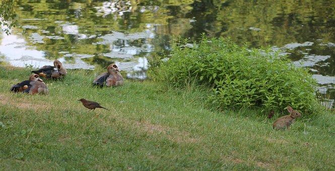 Park, Nature, Lake, Ducks, Goose, Nilgans, Rabbit, Hare