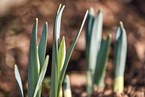 Spring, Early Spring, Narcissus, Flower, Garden, Bloom