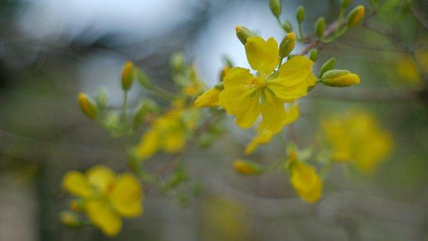 Lunar New Year, Flower, Mai, Vietnam, Spring, Feng