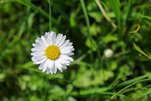 Gänseblümchen, Daisy, Flower, Spring, Meadow, Sunshine