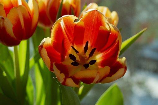 Tulips, Flowers, Spring, Bouquet, Plants