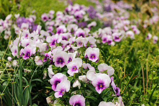 Flowers, Pansies, Pansy, Field, Garden, Plant, Nature