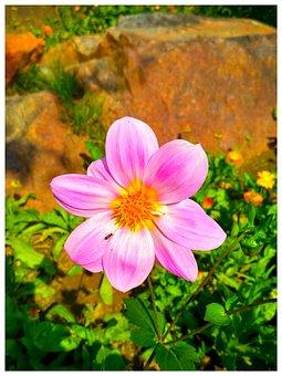 Pink Flower, Garden, Flower, Pink, Bloom, Blossom