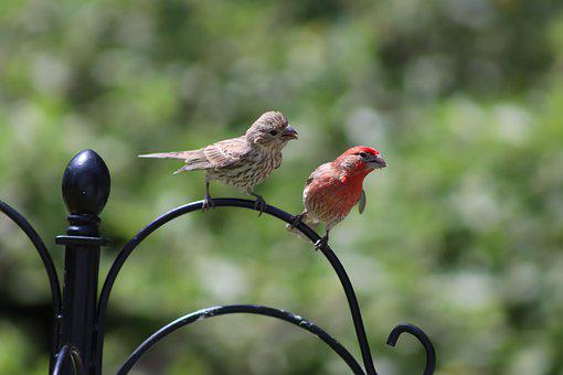 House Finches, Pair, Birds, Perched, Perched Birds