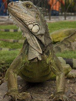 Iguana, Animal, Dragon, Lizard, Nature, Exotic