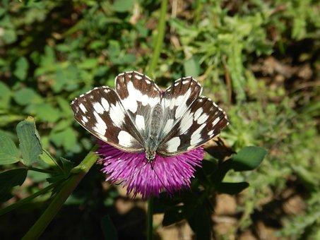 Animals In Danger, Italian Butterfly, Meetings, Meadow