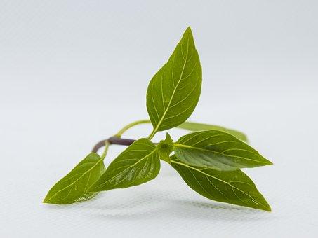 Basil, Leaf, Leaves, Herb, Healthy, Fresh, Plant