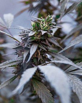 Cannabis, Medicinal, Hemp, Green, Plant, Flower, Leaf