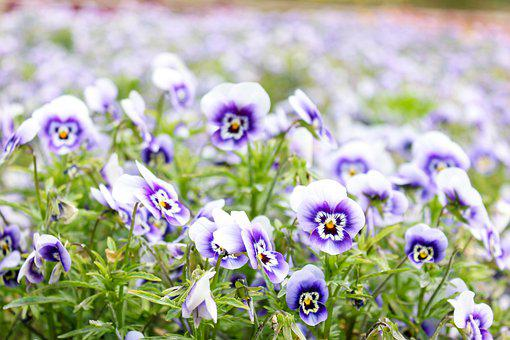 Flowers, Nature, Purple, Pansies, Floral, Botanical