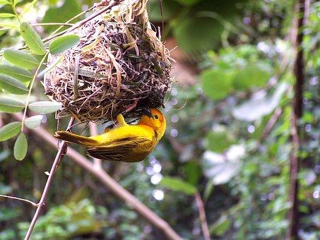 Usa, North Carolina, Yellow Bird, Nest, Greenery