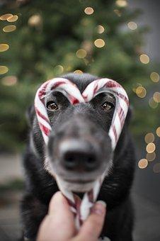 Dog, Pet, Christmas, Laika, Face, Black, Funny, Animal