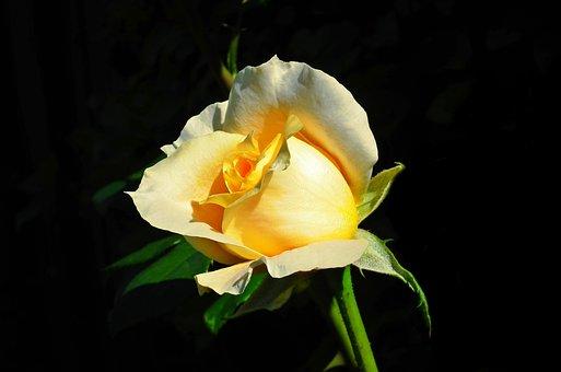 Rose, Flower, Plant, Tea Rose, Yellow Rose