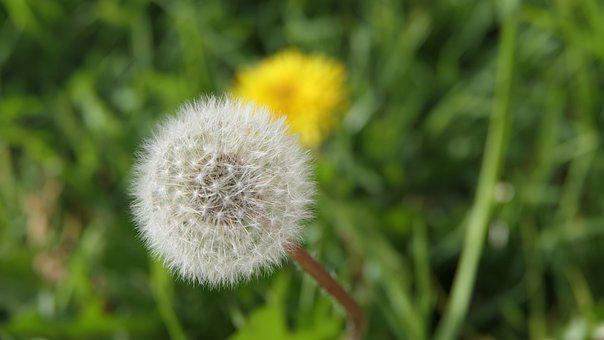 Dandelion, Plant, Seed Head, Flower, Weed, Blowball