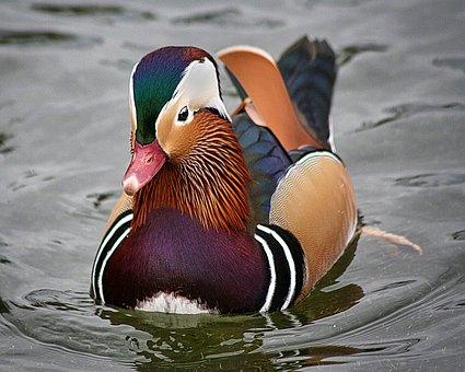 Mandarin Duck, Bird, Feathers, Duck, Plumage, Lake