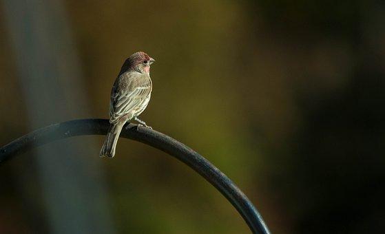 Bird, Purple Finch, Finches, Finch, Perched