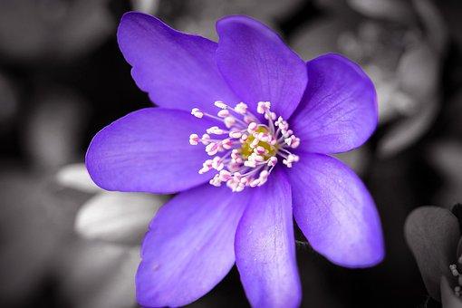 Flower, Purple, Purple Flower, Petals, Májvirág