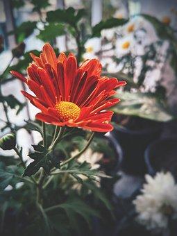Chrysanthemum, Red Flower, Environmental, Plant, Bloom