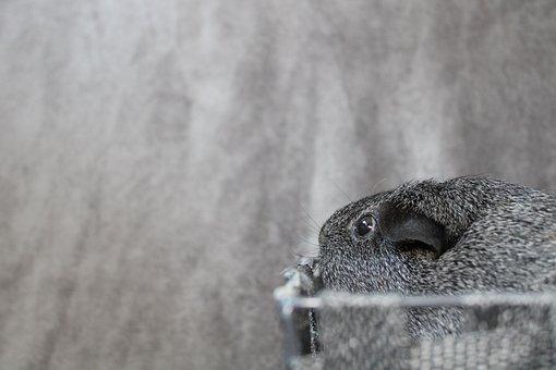Guinea Pig, Rodent, Pet, Basket, Silver Color, Whistle