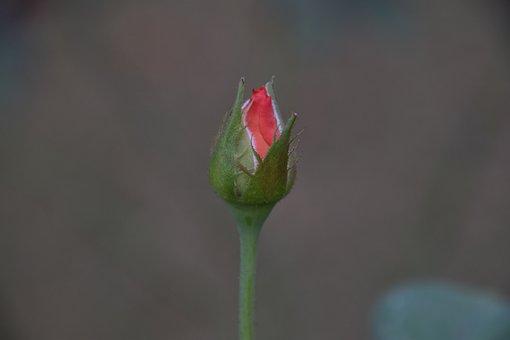 Rose - Flower Photos, Bud Photos, Blossom Photos