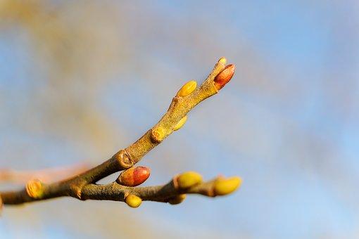 Bud, Branch, Spring, Nature, Blossom, Bloom, Plant