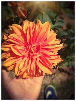 Sunflower, Sunlight, Yellow Flower, Orange Flower