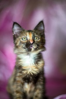 Kittens, Tortoiseshell Color, Camo, Young Cats