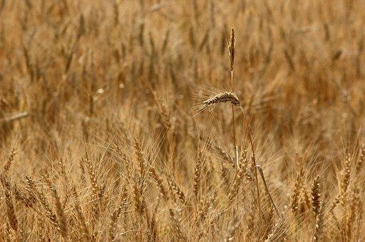 Field, Growth, Nature, Rye, Sunlight, Wheat, Yellow
