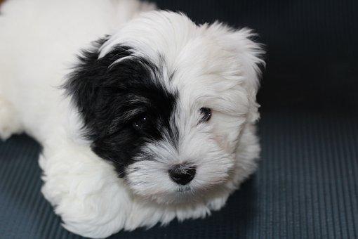 Dog, Puppy, White Dog, Small Dog, Coton