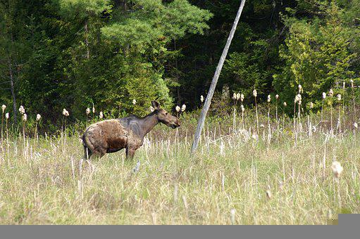 Moose, Meadow, Cattails, Nature, Animal, Wildlife